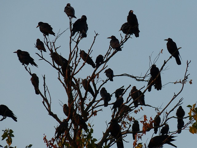 Image result for murder of crows